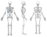 Human Skeleton Anatomy Black and White