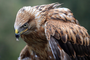 Беркут. Golden Eagle (Aquila chrysaetos)