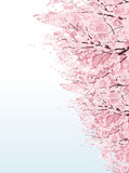 桜 並木 Beautiful Cherry blossom boulevard trees
