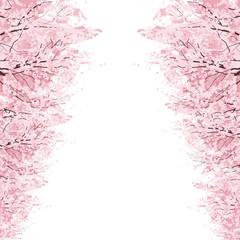 桜 並木 Rows of Cherry Blossom trees