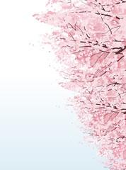 桜 並木 Beautiful Cherry blossom boulevard trees