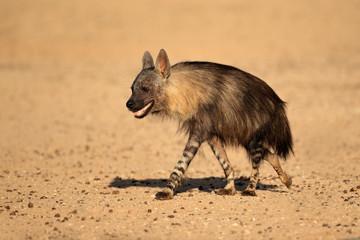Brown hyena, Kalahari desert