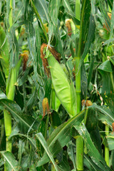 Green corn (maize) in the field during summer
