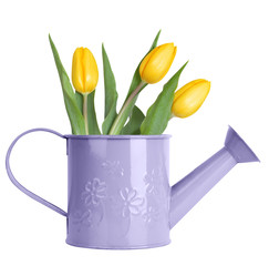 Yellow tulips in purple watering can