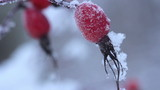 Frozen berries under snow. St. Petersburg. Russia