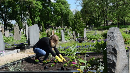 woman plant begonia flowers on close friend grave in cemetery