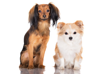 russian toy and chihuahua dogs together