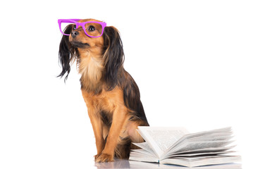 russian toy terrier dog reading