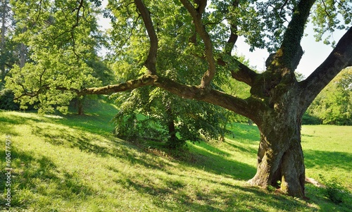 Foto op Plexiglas Lente Big Oak Tree