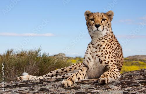 Foto op Aluminium Overige liegender Gepard