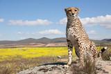sitzender Gepard
