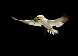 Northern gannet in flight with nest material.