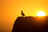 Atlantic puffin enjoys sunset in Fair Isle, Shetland.