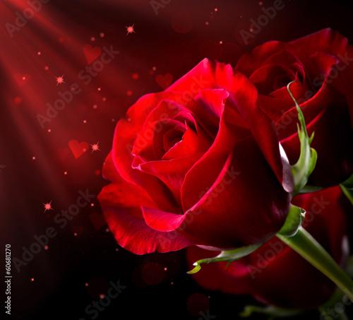 Czerwony kwiat róży na czarnym tle. Walentynki