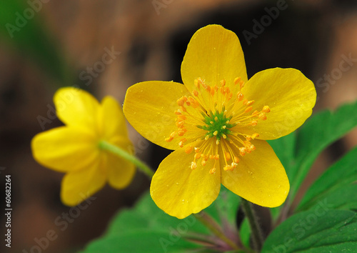 Two spring yellow flowers, one facing the camera