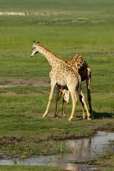Giraffenrivalen