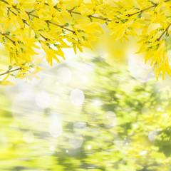 Forsythia flowers twigs