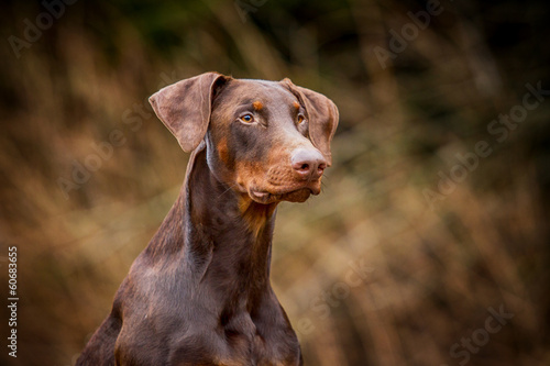 Dobermannportrait