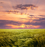Greed Wheat Field and Beautiful Sunset Sky poster
