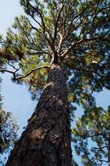 tall majestic pine tree
