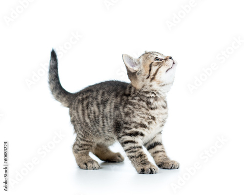 baby Scottish kitten looking up isolated on white