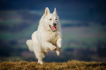 Weißer Schäferhund in Bewegung