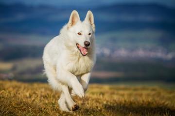 Schweizer Schäferhund in Bewegung