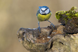 great blue tit