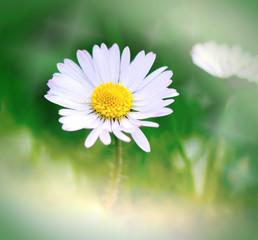 Spring daisy - Daisy