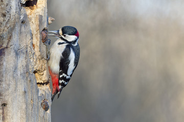Red woodpecker
