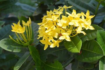Ixora flowers