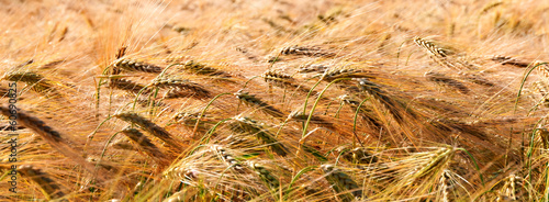 Banner type golden wheat field in wind