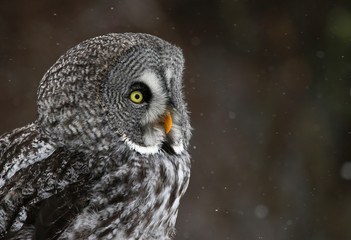 The face of a Great Grey Owl (Strix nebulosa)