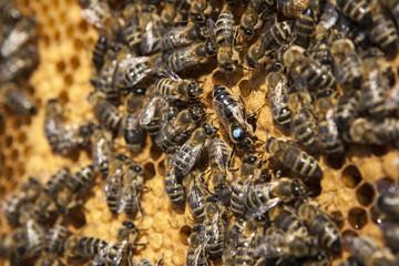 Bienenkönigin mit ihren Drohnen auf einer Honigwabe