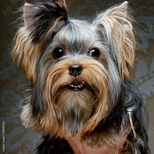 Cute Yorkshire Terrier Puppy