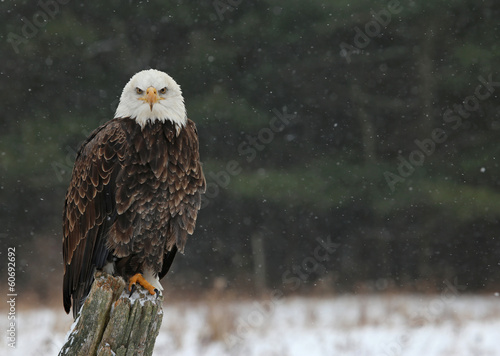Foto op Plexiglas Eagle Bald Eagle Looking at You