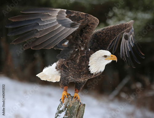 Foto op Canvas Eagle Wings Spread Bald Eagle