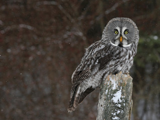 Great Grey Owl and Copyspace