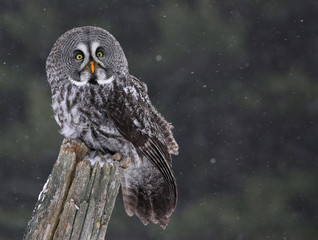 Sitting Great Gray Owl