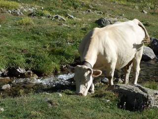 vache alpine
