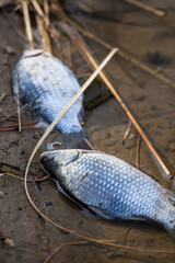 Dead fish in polluted pond/river/lake