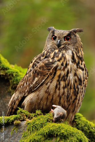 Eurasian Eagle Owl watching his hunt down mouse prey