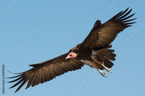 Hooded Vulture (Necrosyrtes manachus)  in flight