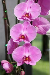 Pink Farland orchid