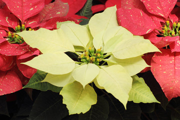 yellow poinsettia flowers