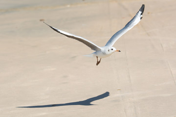 Young Grey-Headed Gull in flight