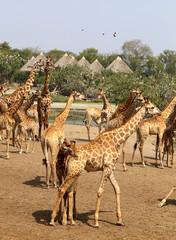 Herd of beautiful giraffes