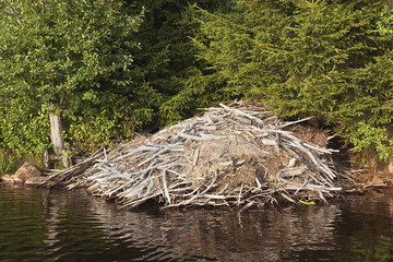 Beaver lodge in lake