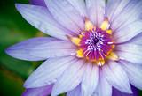 Fototapety purple lotus