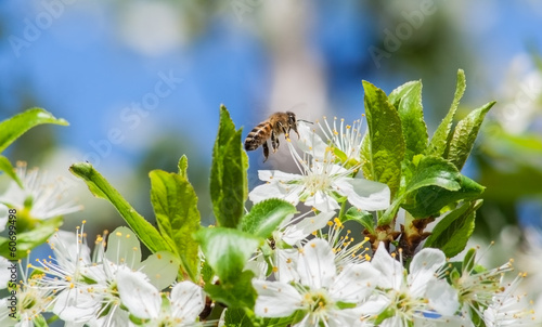 Bee on a blossoming plum